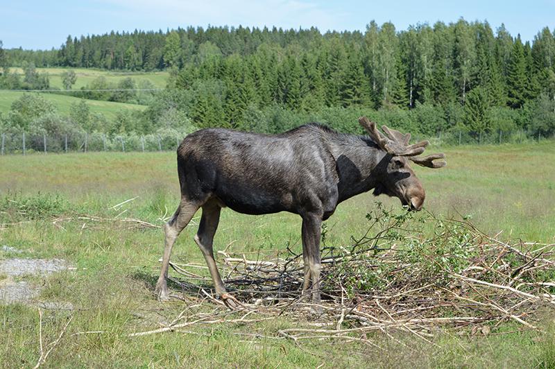 Älgens hus – Elanden boerderij - volwassen eland 02