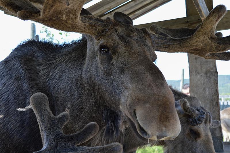 Älgens hus – Elanden boerderij - volwassen eland